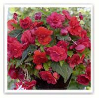 begonia rose retombant