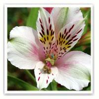 alstroemere rose et blanc