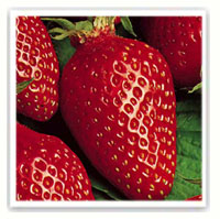 fraise gariguette