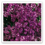 lilas rouge lie de vin