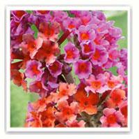 buddleia bicolore orange et violet