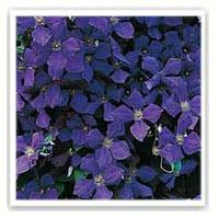 clématite violette