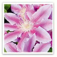 clématite bicolore rose