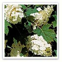 hortensia blanc feuille de chene