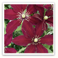 clematite rouge