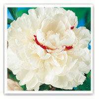 pivoine herbacée blanche