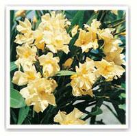 laurier rose jaune luteum plenum