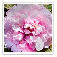 peonia arbustiva rosa