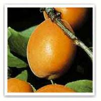 abricot nain aprigold