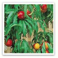 albero da frutto pesco noce nana