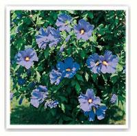 althea bleu