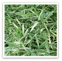 Bambou Sasa masamuneana Albostriata