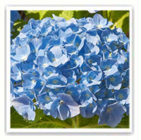 hortensia bleu de jardin