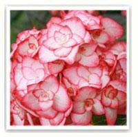 hortensia arbustif rose