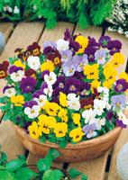 violettes en pot