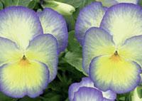 assortiment de violettes