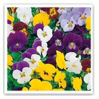 violettes multicolores