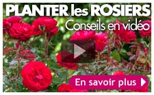 vidéo planter rosier