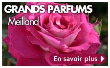 rosiers Meilland