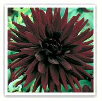 dahlia cactus chat noir