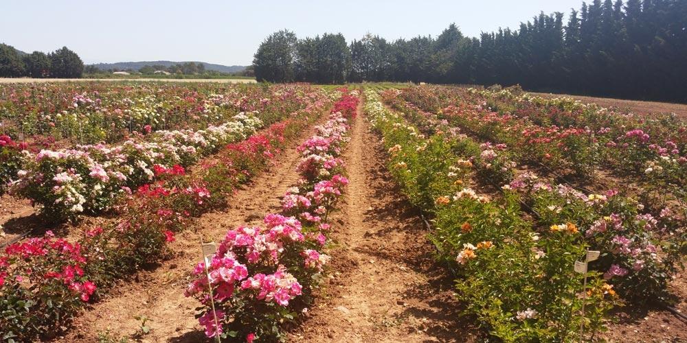 Les champs Meilland International, situé dans le Var au Luc-en-Provence