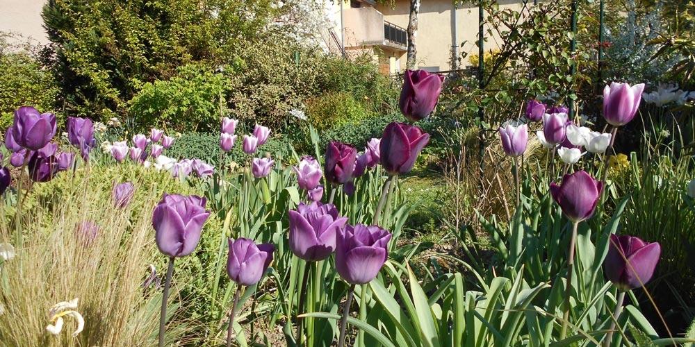 Jardin fleuri de jolies tulipes