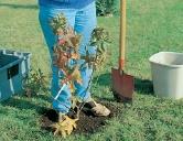 tasser la terre plantation arbuste