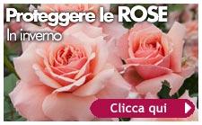 rose inverno consigli