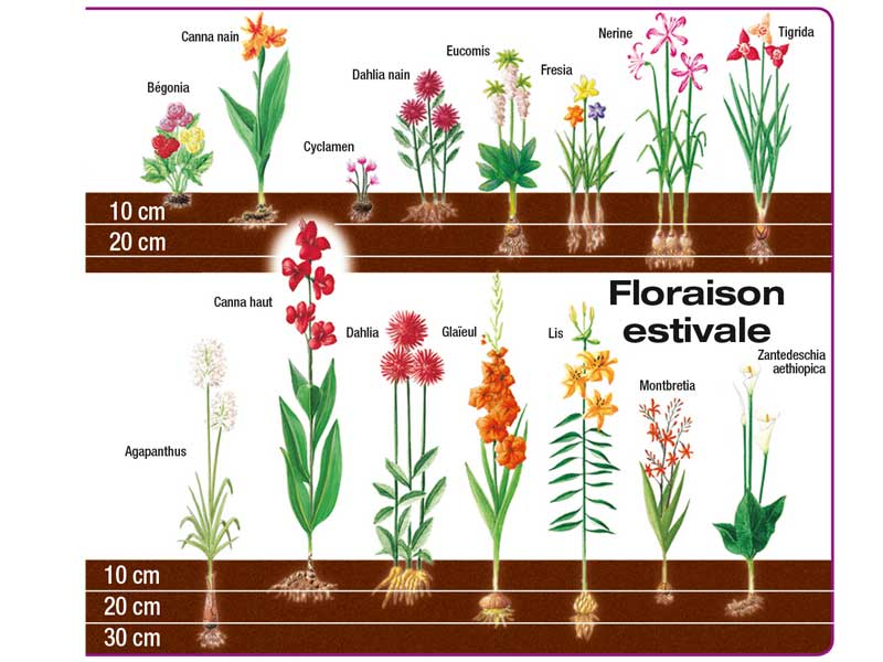 Floraison bulbes