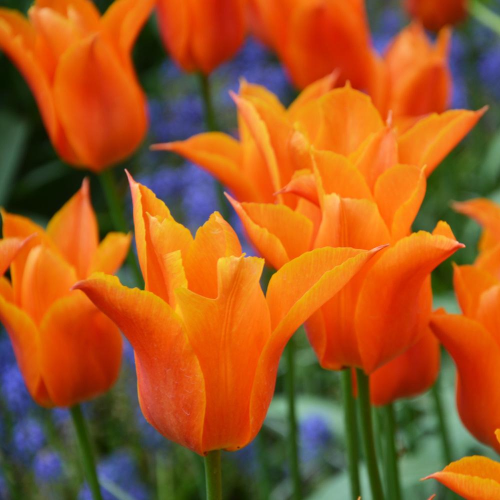 Tulipes parfumées Ballerina