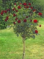 Rose for Piante ad alberello