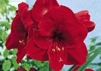 Amaryllis conseils de plantation et entretien for Planter un bulbe amaryllis
