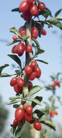 Goji consigli di piantagione potatura e mantenimento for Coltivazione goji
