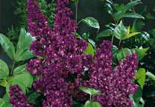quand planter un lilas