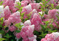 les plantes fleuries  8032