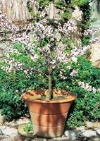 Abricotier conseils de plantation taille et entretien - Planter un noyau d abricot ...