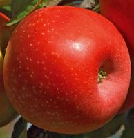 Meli consigli di messa a dimora potatura e manutenzione for Potatura del melo