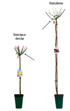 Plantation rosiers tiges et pleureurs - Comment tailler des rosiers ...