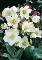 Rosa di natale elleboro consigli di piantagione e for Elleboro bianco
