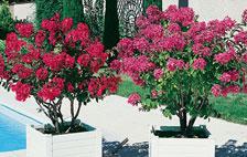 Plantation et entretien du lilas des Indes