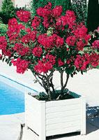 lagerstroemia lilas des indes conseils de plantation taille entretien. Black Bedroom Furniture Sets. Home Design Ideas