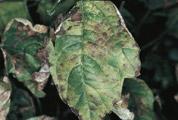 mildiou maladie rosiers