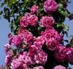 rose inès sastre