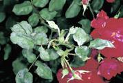 oidium maladie rosier