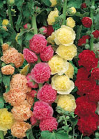 Plantation et entretien de la rose trémière