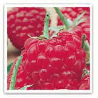 Framboisier : conseils de plantation, taille et entretien ...