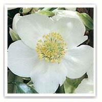 Rose de no l hellebore conseils de plantation et entretien - Rose de noel en pot ...