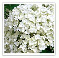 les plantes fleuries  Tableau-8068