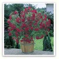 Laurier rose conseils de plantation taille entretien - Arrosage laurier rose en pot ...