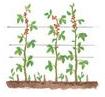 Framboisier conseils de plantation taille et entretien - Comment planter des framboisiers ...